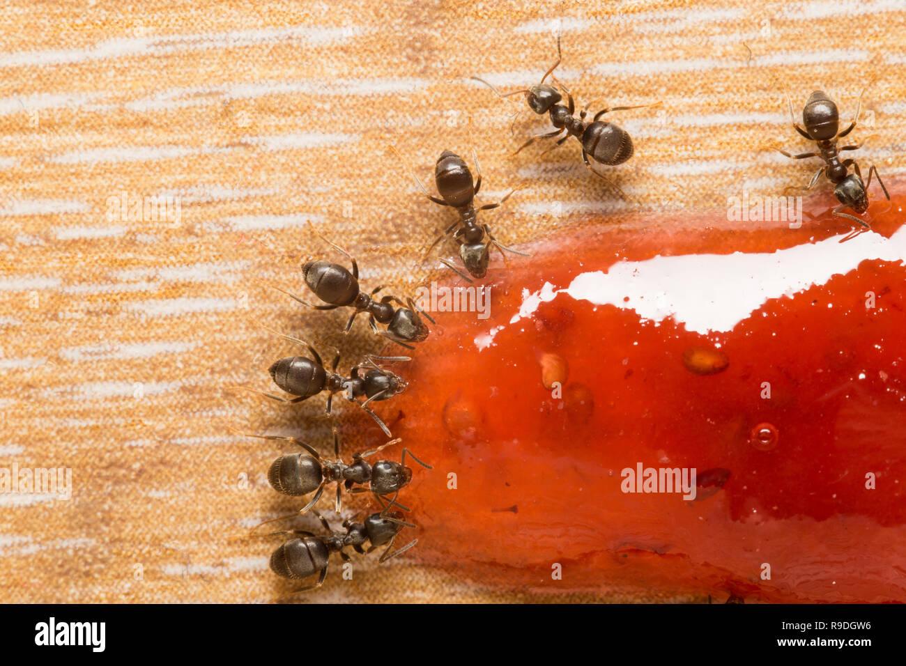 Schwarz Garten Ameisen in einer Küche Fütterung auf berry ...