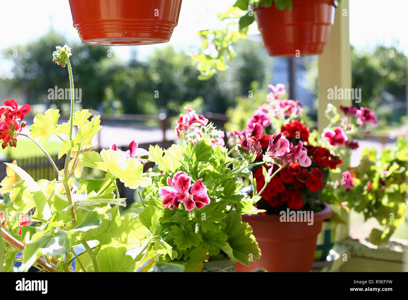 Blumen In Topfe Auf Dem Balkon Fensterbank Fenster Fruhling