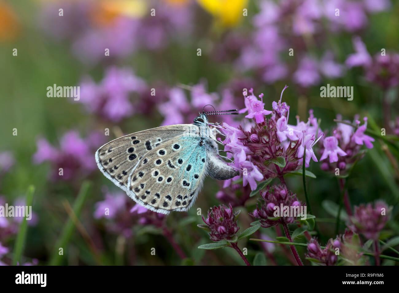 Die großen blauen Schmetterling; Phengaris arion einzigen Weibchen Eiablage auf wilder Thymian Somerset, Großbritannien Stockbild