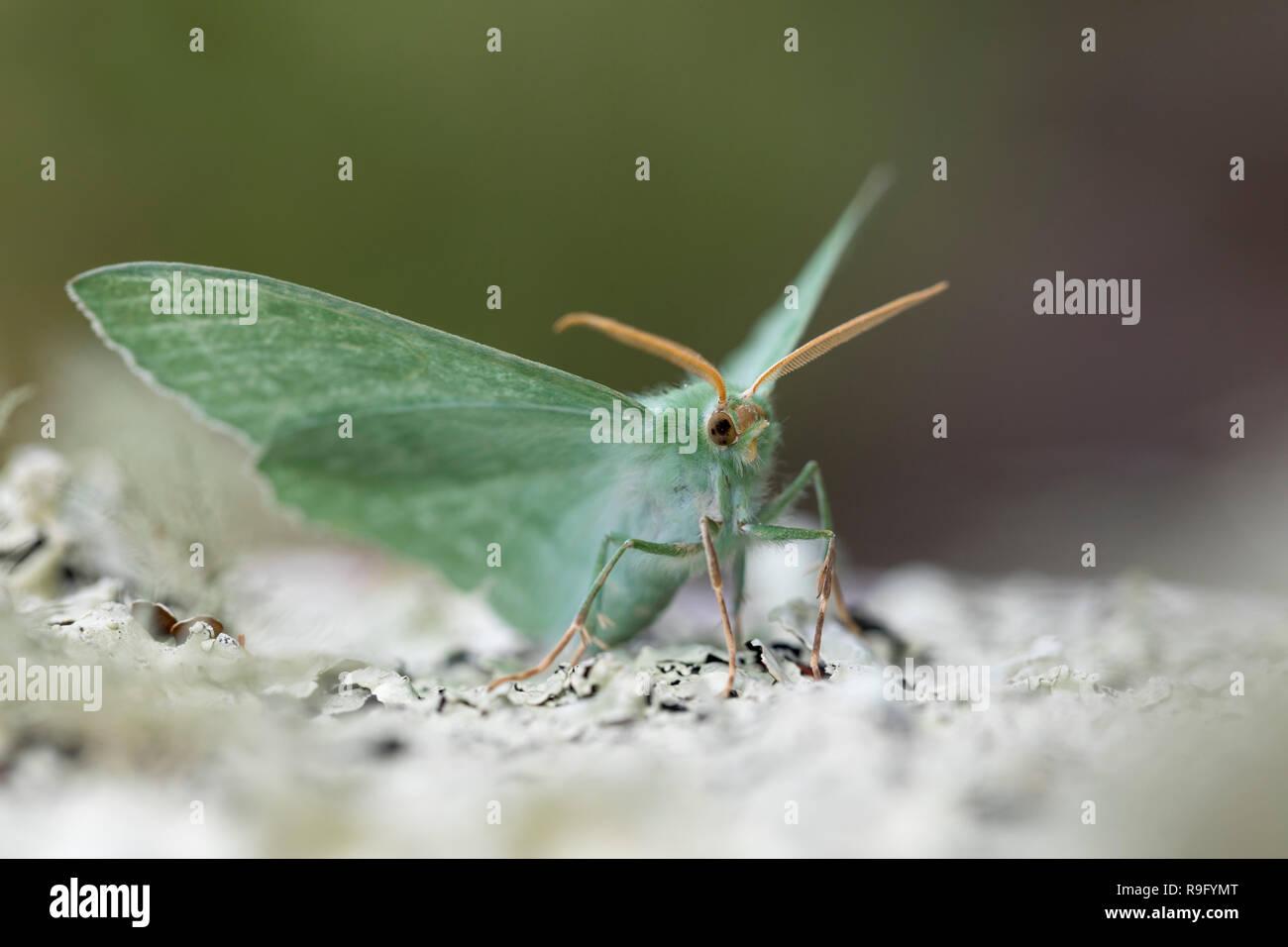 Große Emerald Motte; Geometer papilionaria Single auf Flechten Cornwall, UK Stockbild