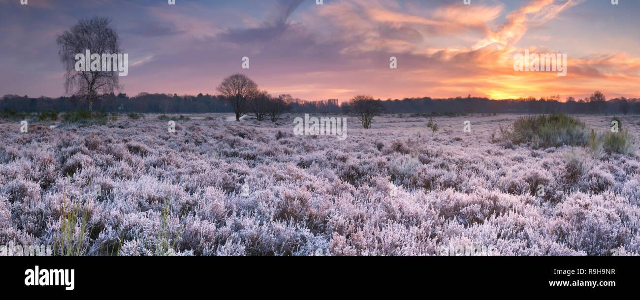 Bereift Heather im Winter, fotografiert bei Sonnenaufgang in der Nähe von Hilversum in den Niederlanden. Stockbild