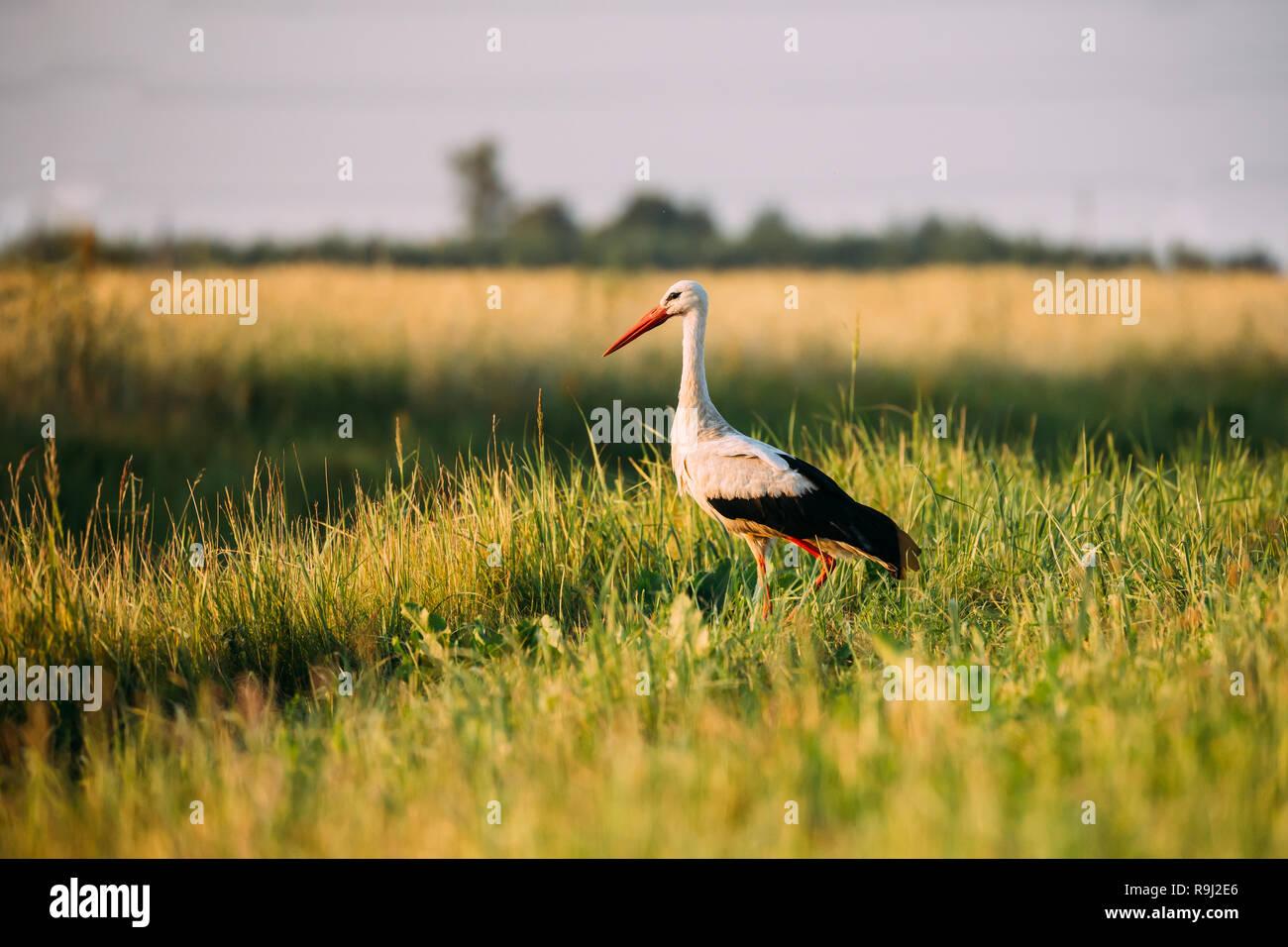 Belarus. Nach europäischen Weißstorch im grünen Gras. Wilde Feld Vogel im Sonnenuntergang. Stockbild