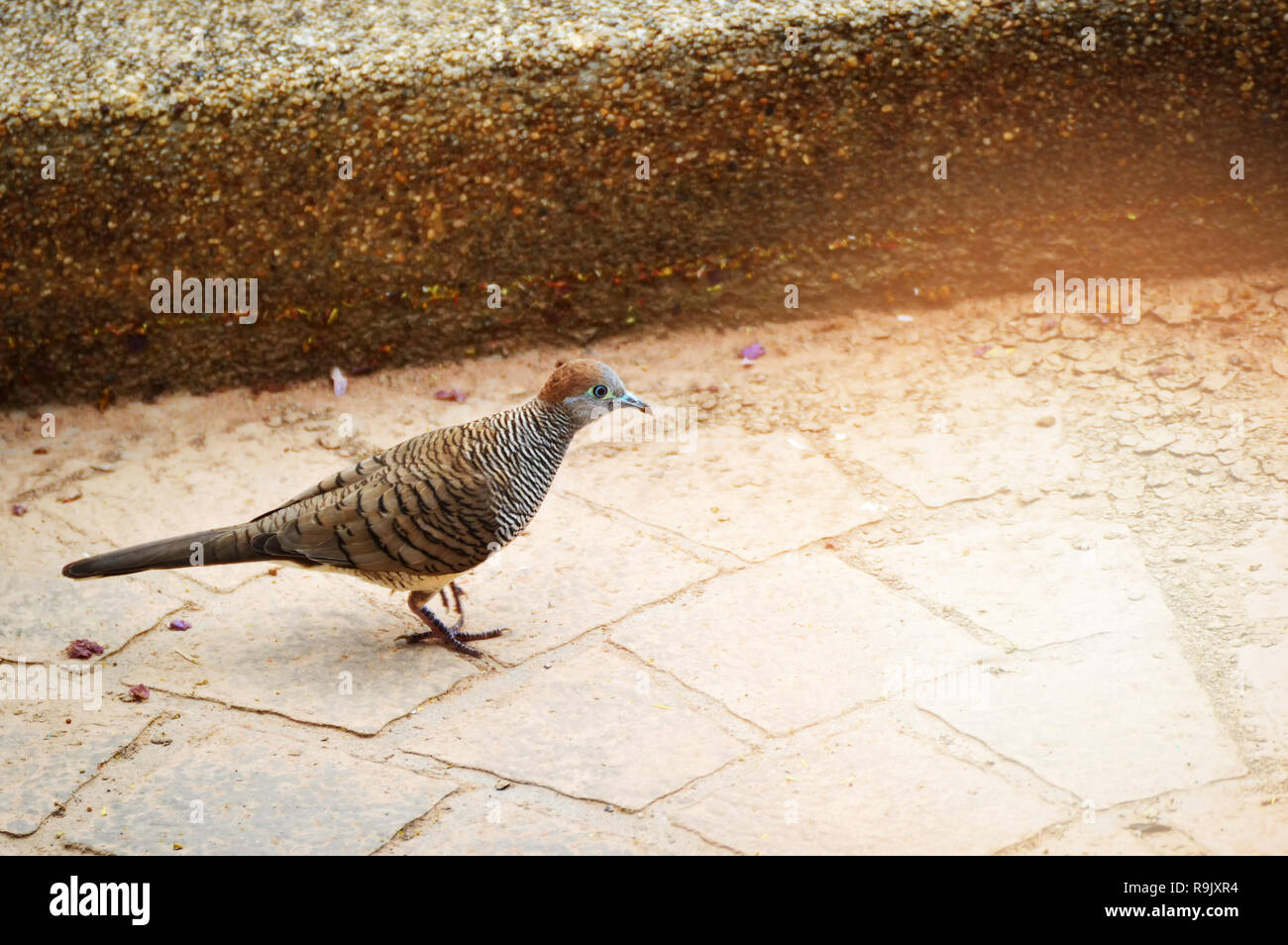 Fußboden Braun Zebra ~ Zebra taube vogel fuß in den park bird von geopelia striata in