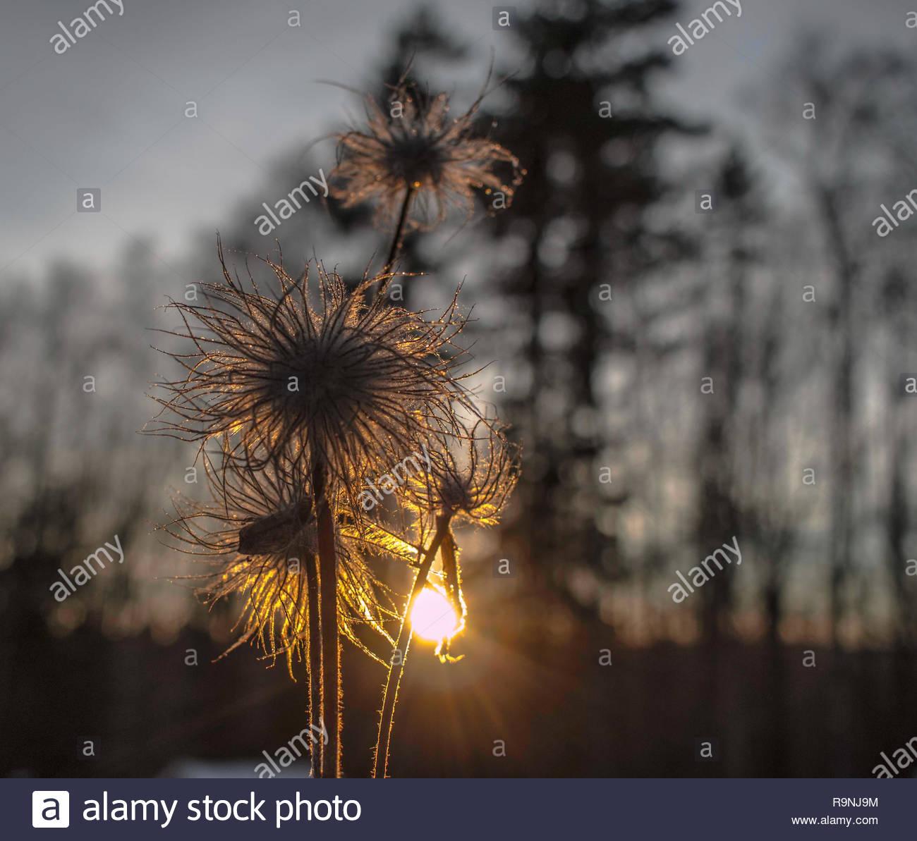 Thistle Blume in der Hintergrundbeleuchtung Stockbild