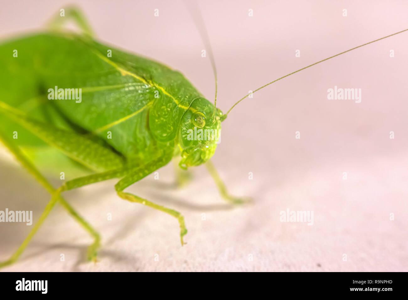 Nahaufnahme eines Tettigoniidae gegen weiße Oberfläche Stockbild