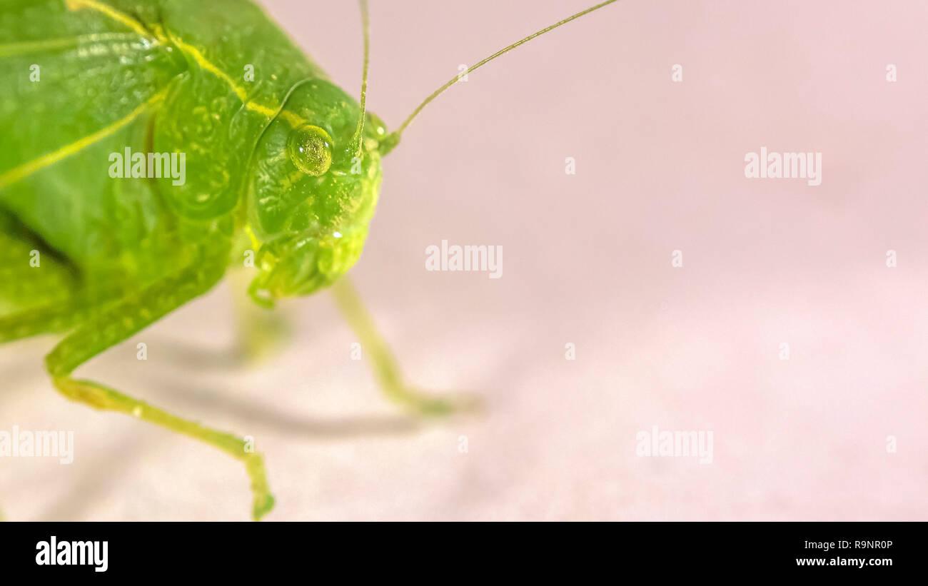 Green Bush Cricket mit einem faserigen Antennen Stockbild