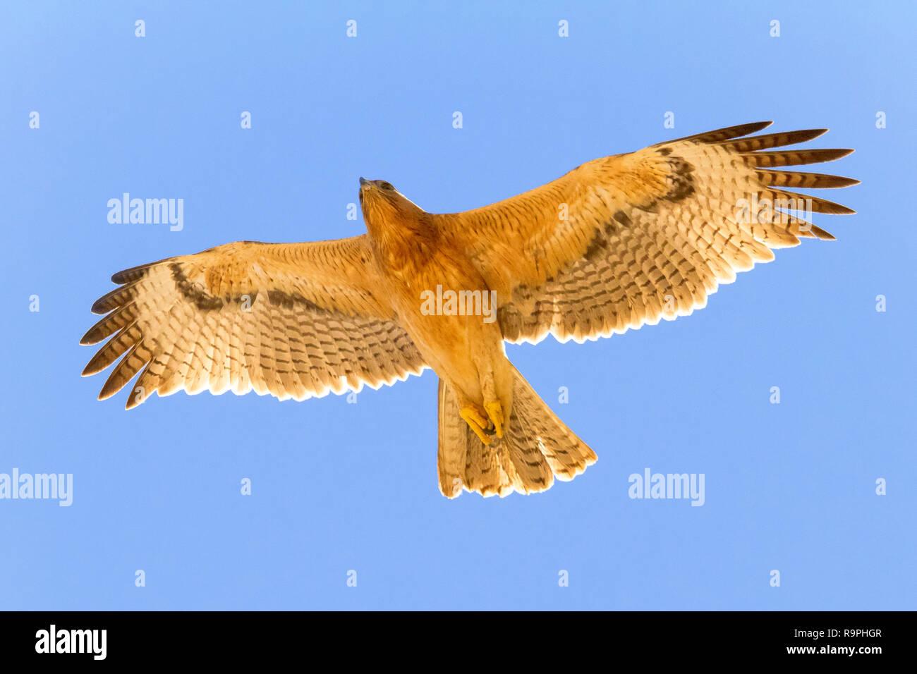 Bonelli's Eagle (Aquila fasciata), juvenile im Flug underparts angezeigt Stockbild