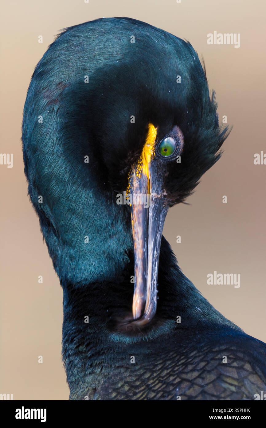 Europäische Shag (Phalacrocorax aristotelis), Nahaufnahme eines Erwachsenen die Federn putzen Stockbild
