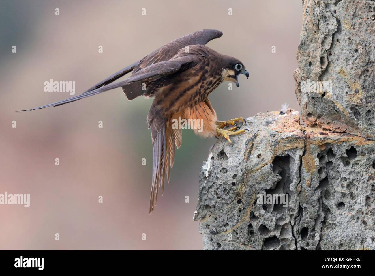 Eleonorenfalken (Falco eleonorae), leichte Morph nach Landung auf einem Felsen Stockbild