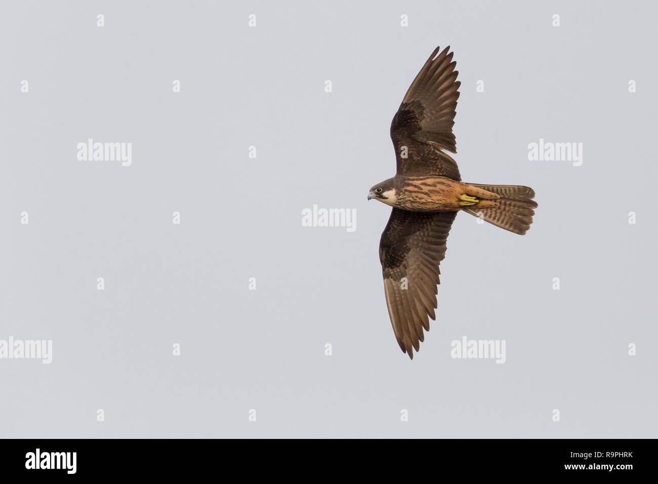 Eleonorenfalken (Falco eleonorae), Stockbild