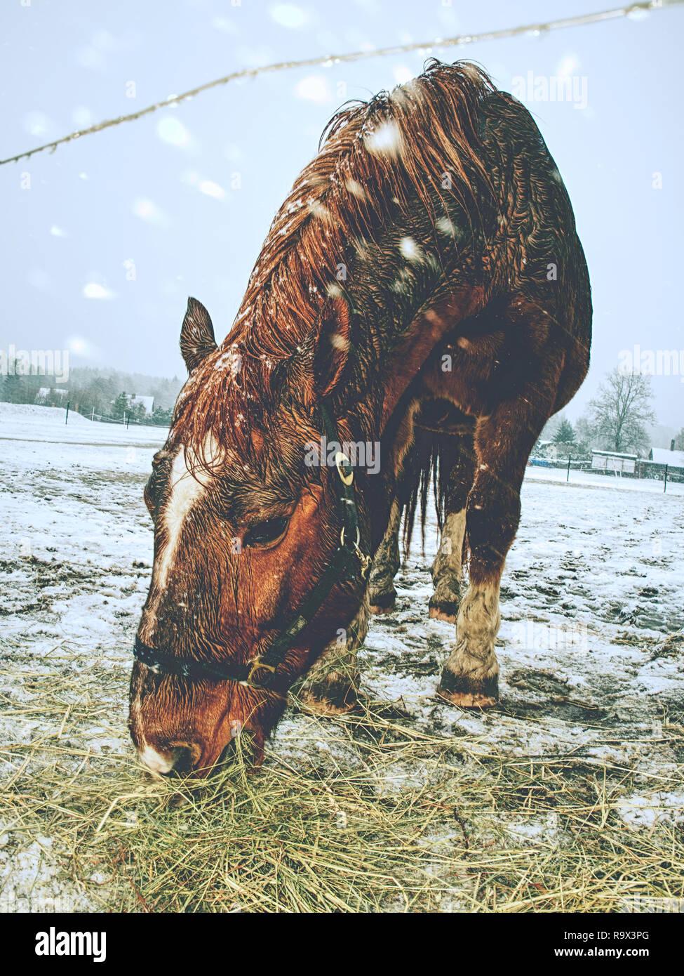 Kostenlose Schone Braune Pferd Geniesst Schnee Im Winter Paddock