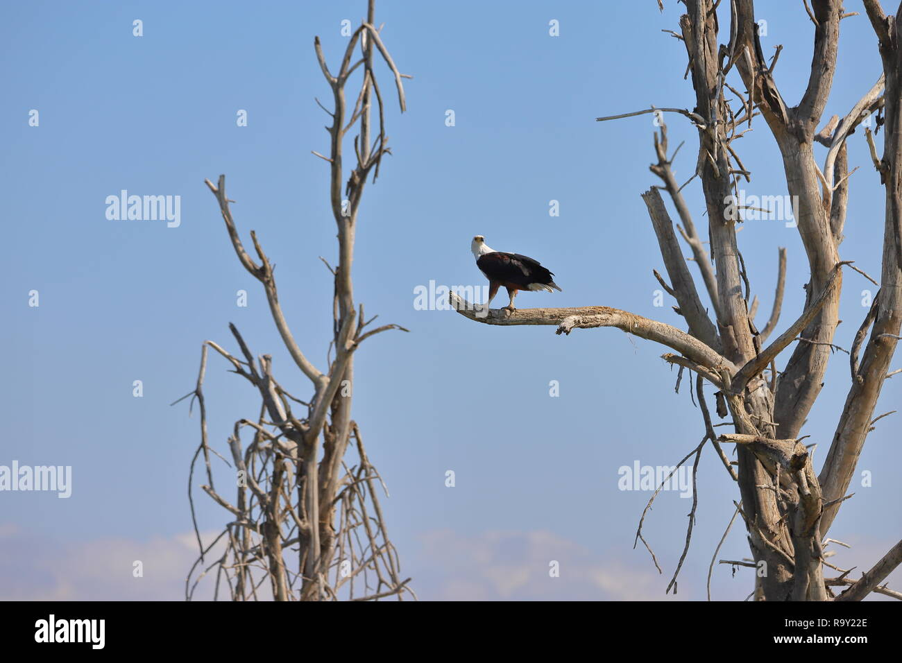 African Fish Eagle in Kenia Stockfoto