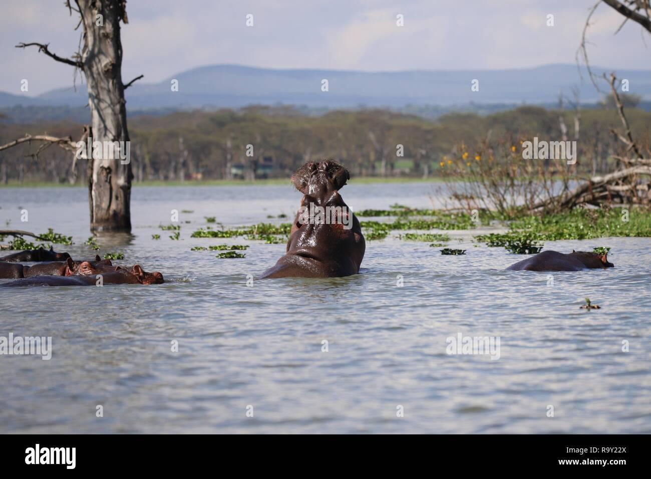 Flusspferde in Lake Naivasha in Kenia Stockfoto