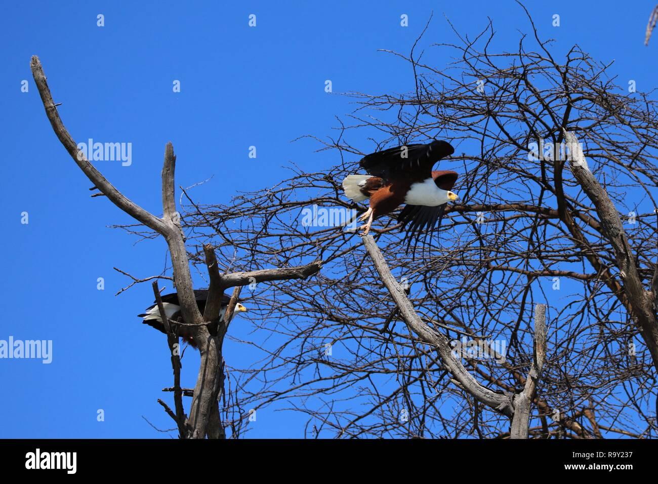 Take-off einer der beiden afrikanischen Fischadler vom Baum Stockfoto