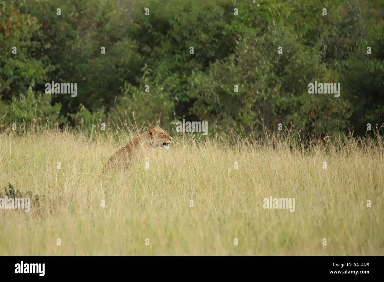 Ein Löwe sitzt im hohen Gras Stockfoto