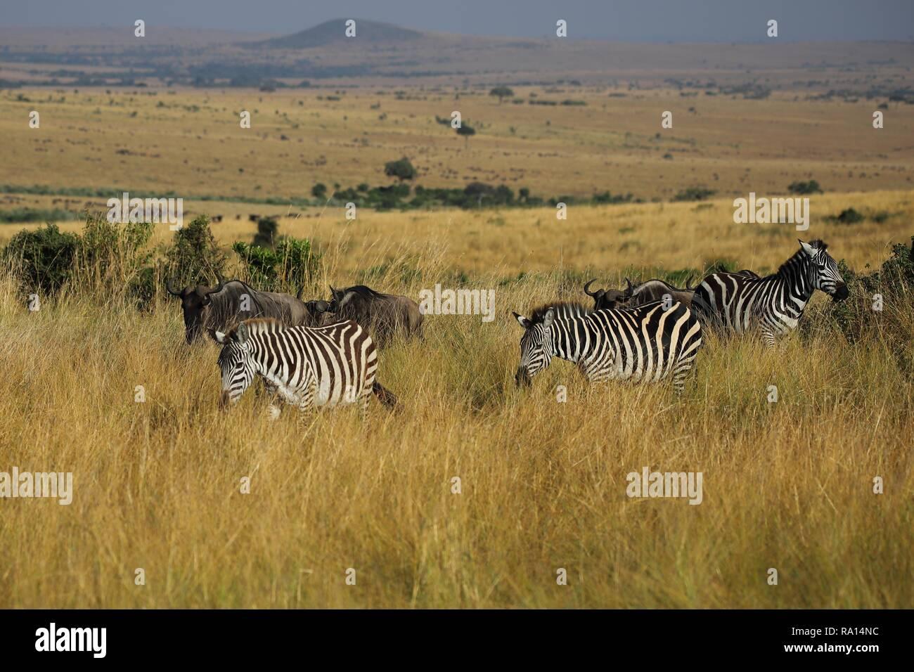 Wandering plains Zebras in der Masai Mara Stockfoto
