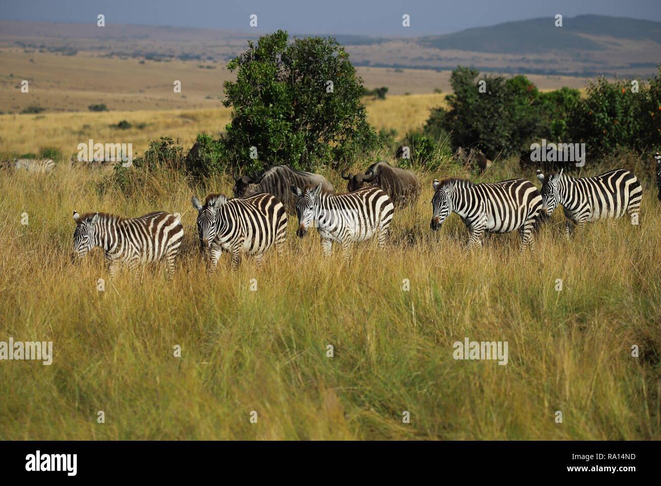 Zebras und Gnus wandern Seite an Seite durch die Masai Mara Stockfoto