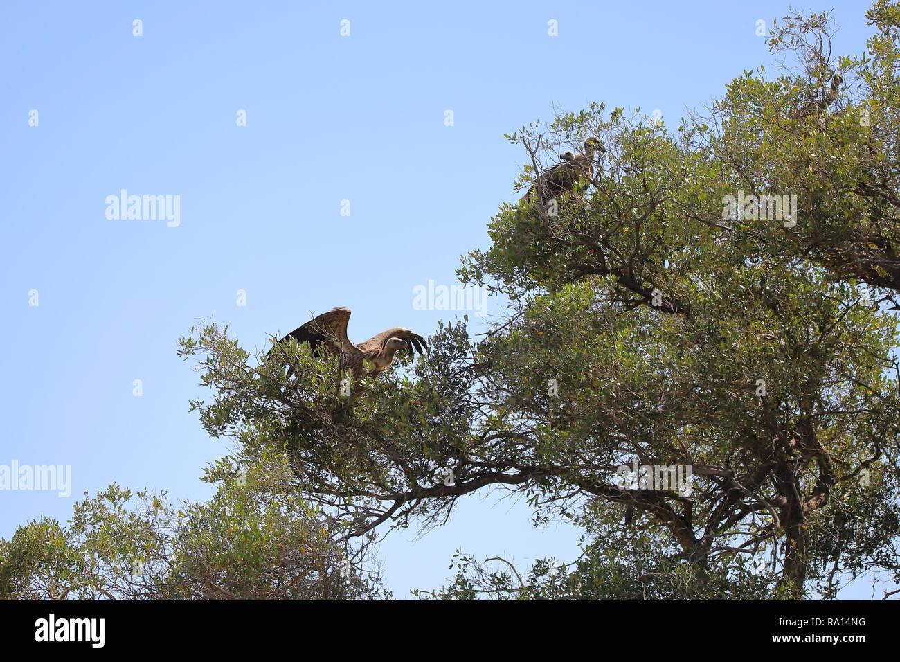 Geier auf einen Baum in der Masai Mara Stockfoto