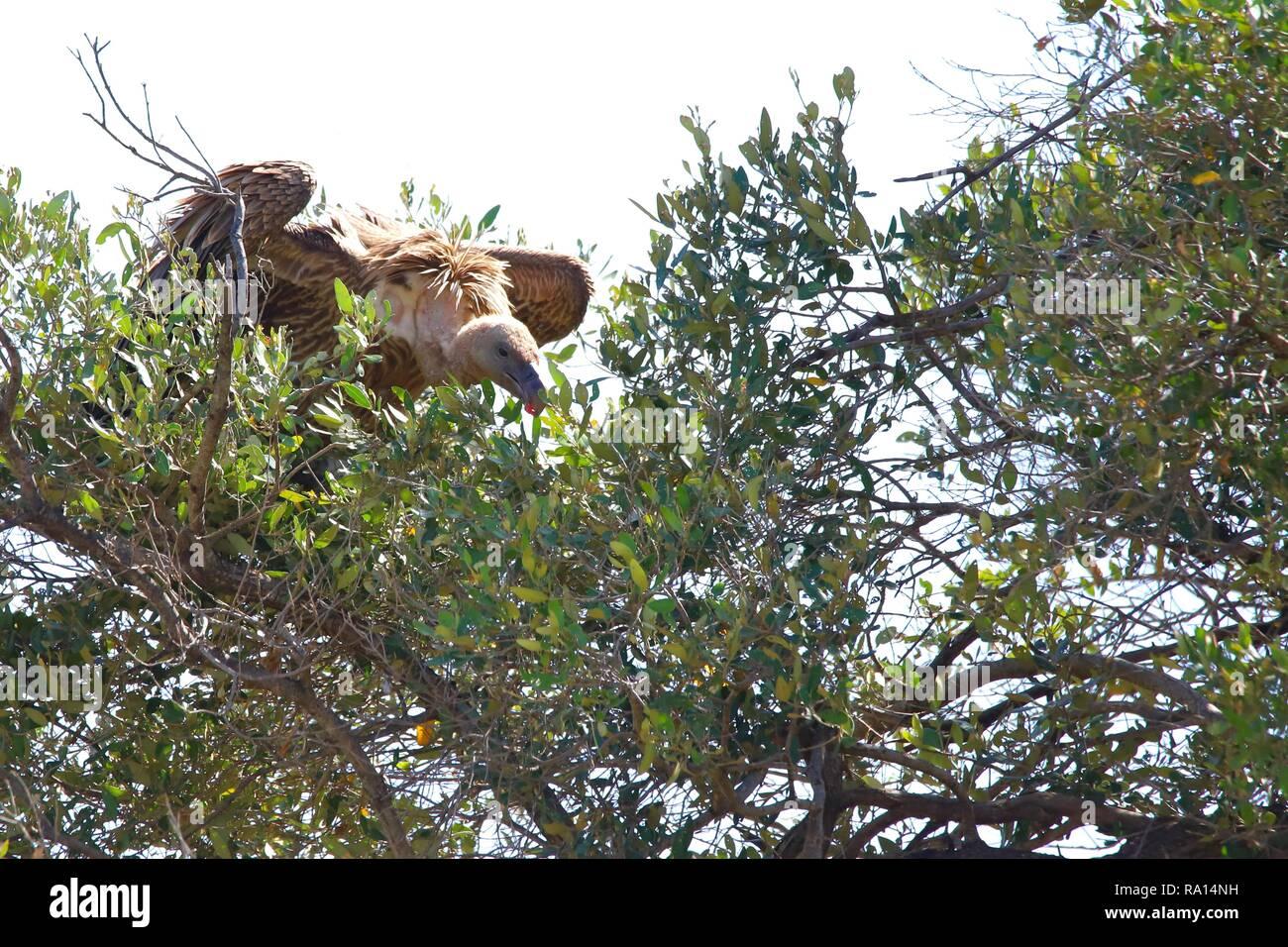 Geier sitzen auf dem Baum in der Masai Mara Stockbild