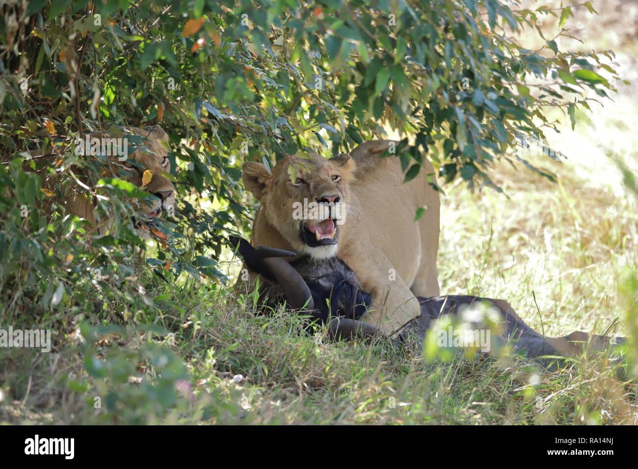 Zwei Löwen mit Beute unter einem Busch Stockfoto