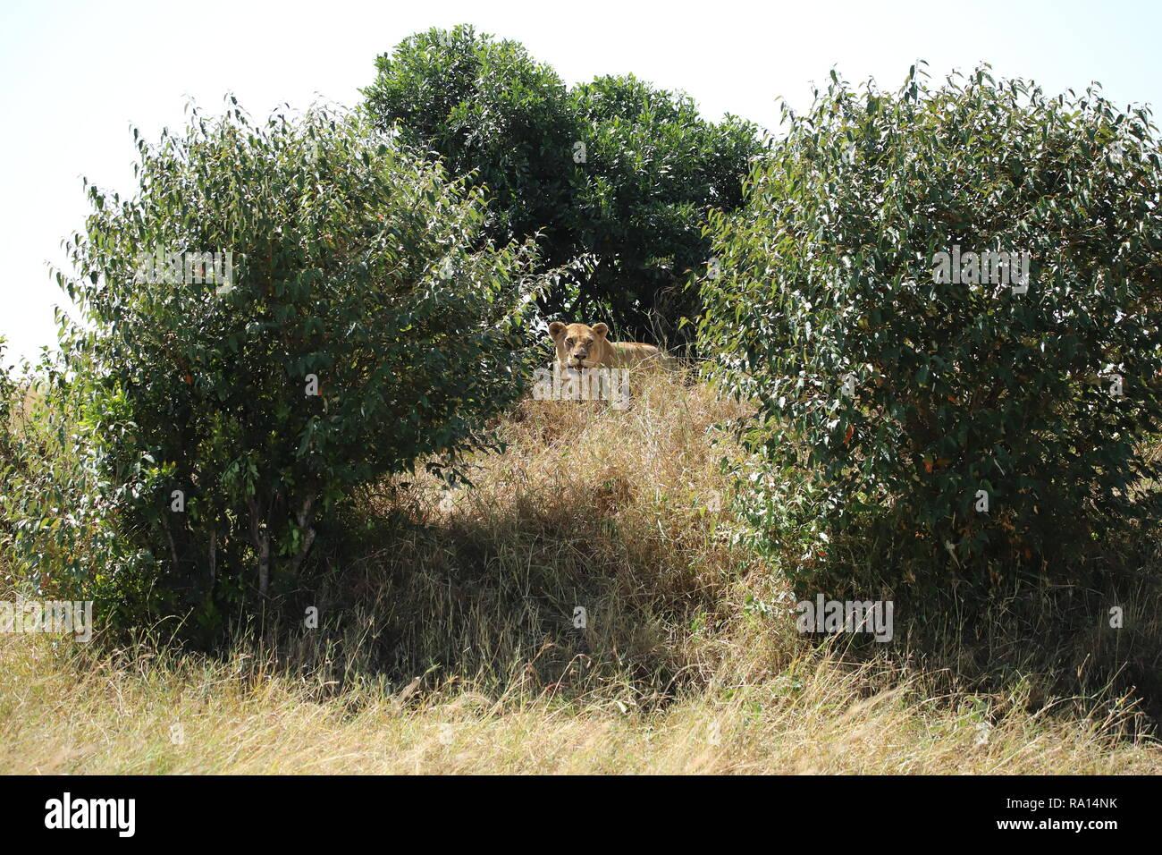 Ein Löwe befindet sich auf dem Hügel zwischen den drei Buchsen Stockfoto