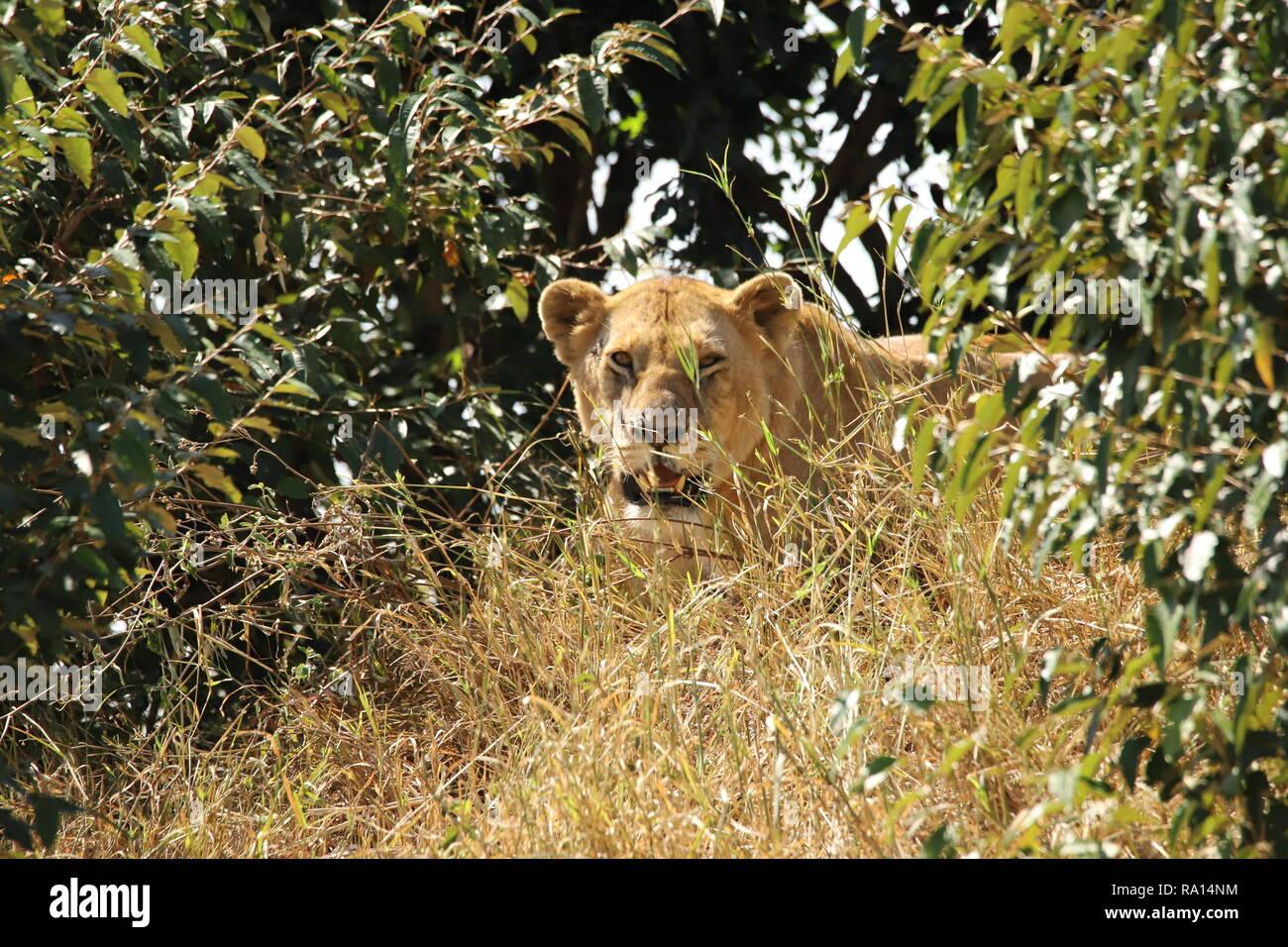 Lion zwischen Gras ein Büschen Stockfoto