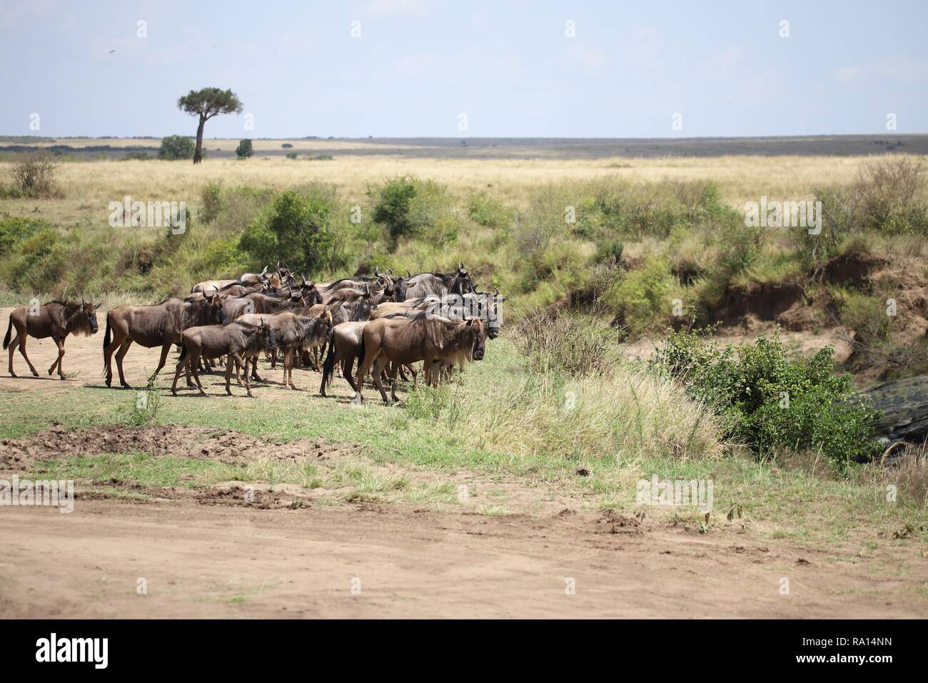 Gruppe von Gnus in der Masai Mara Stockfoto