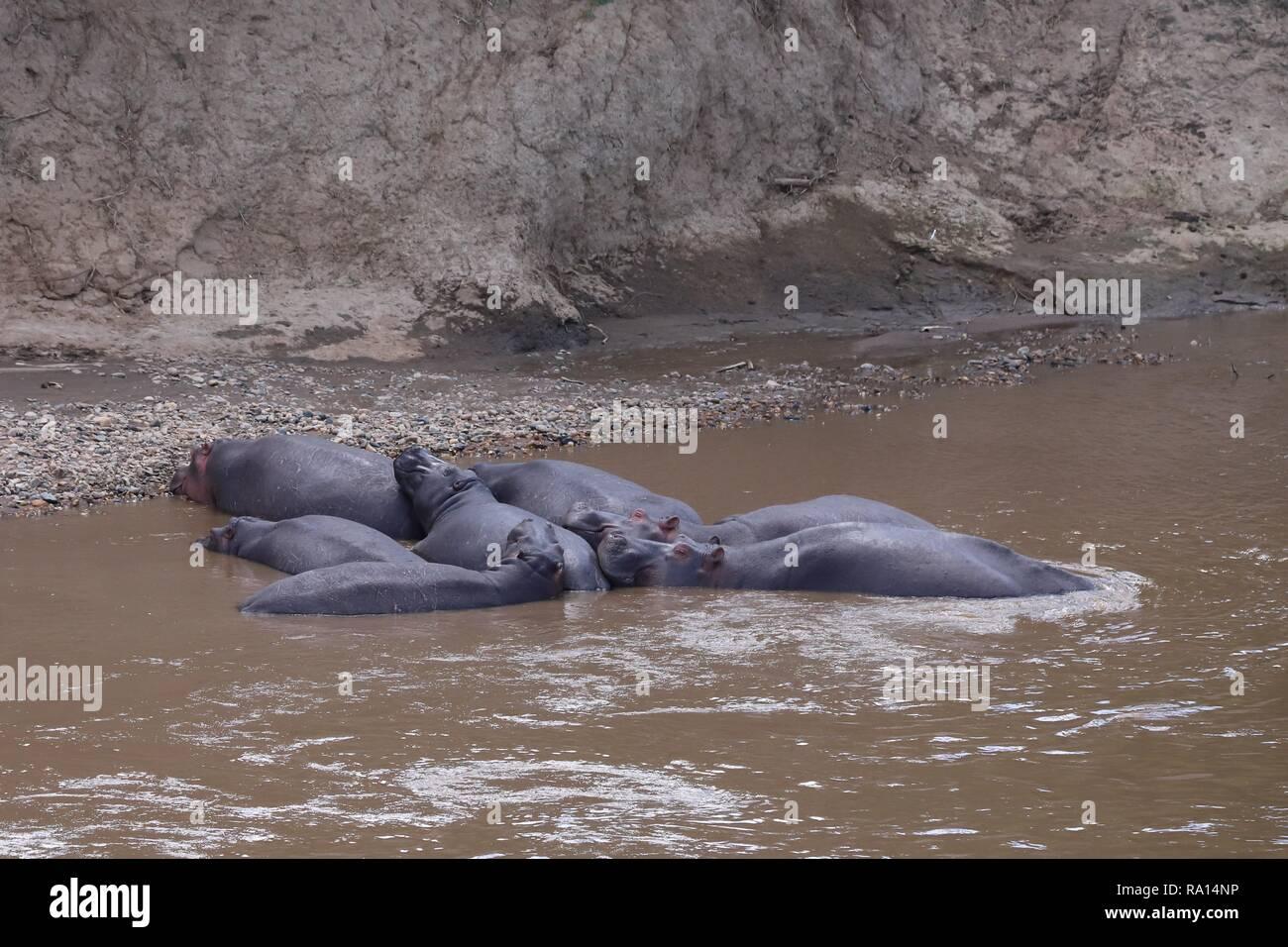 Gruppe der Lüge Flusspferde im Mara River Stockfoto