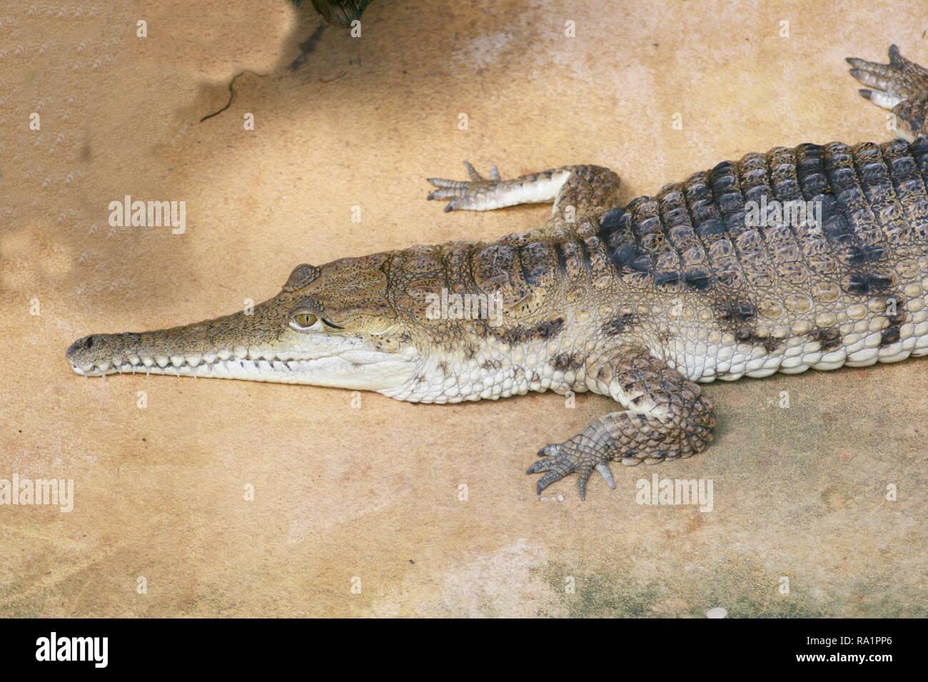 Detailansicht eines Krokodils auf dem Wasser lauwarm Gesten Stockbild