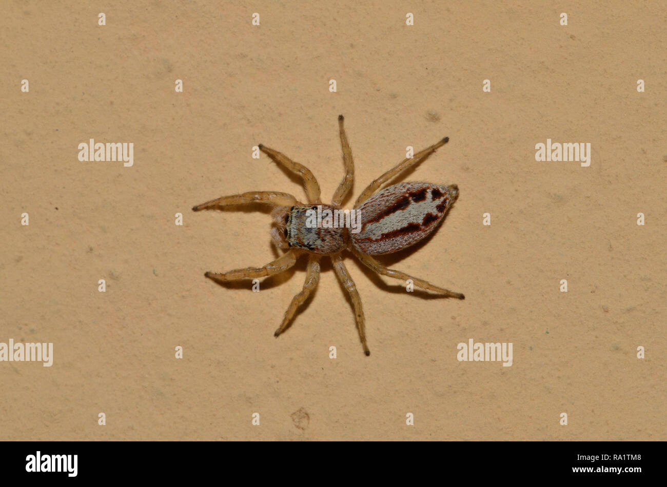 Muster eines gemeinsamen Spinne im Vordergrund an der Wand Stockbild
