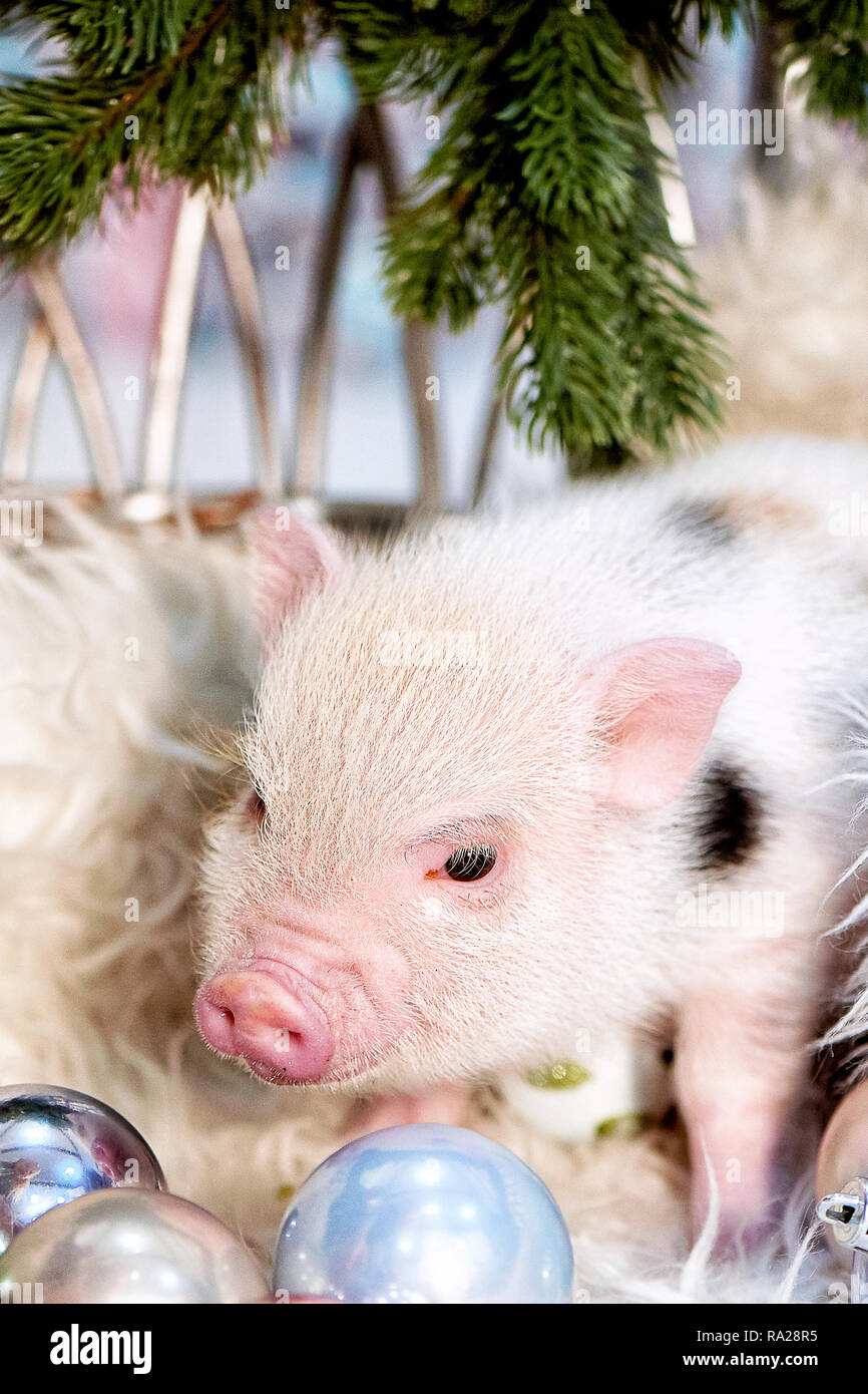 Zwerg Schwein, minipig. Symbol des neuen 2019. Ein Haustier. Helle Farbe mit Flecken. Stockbild