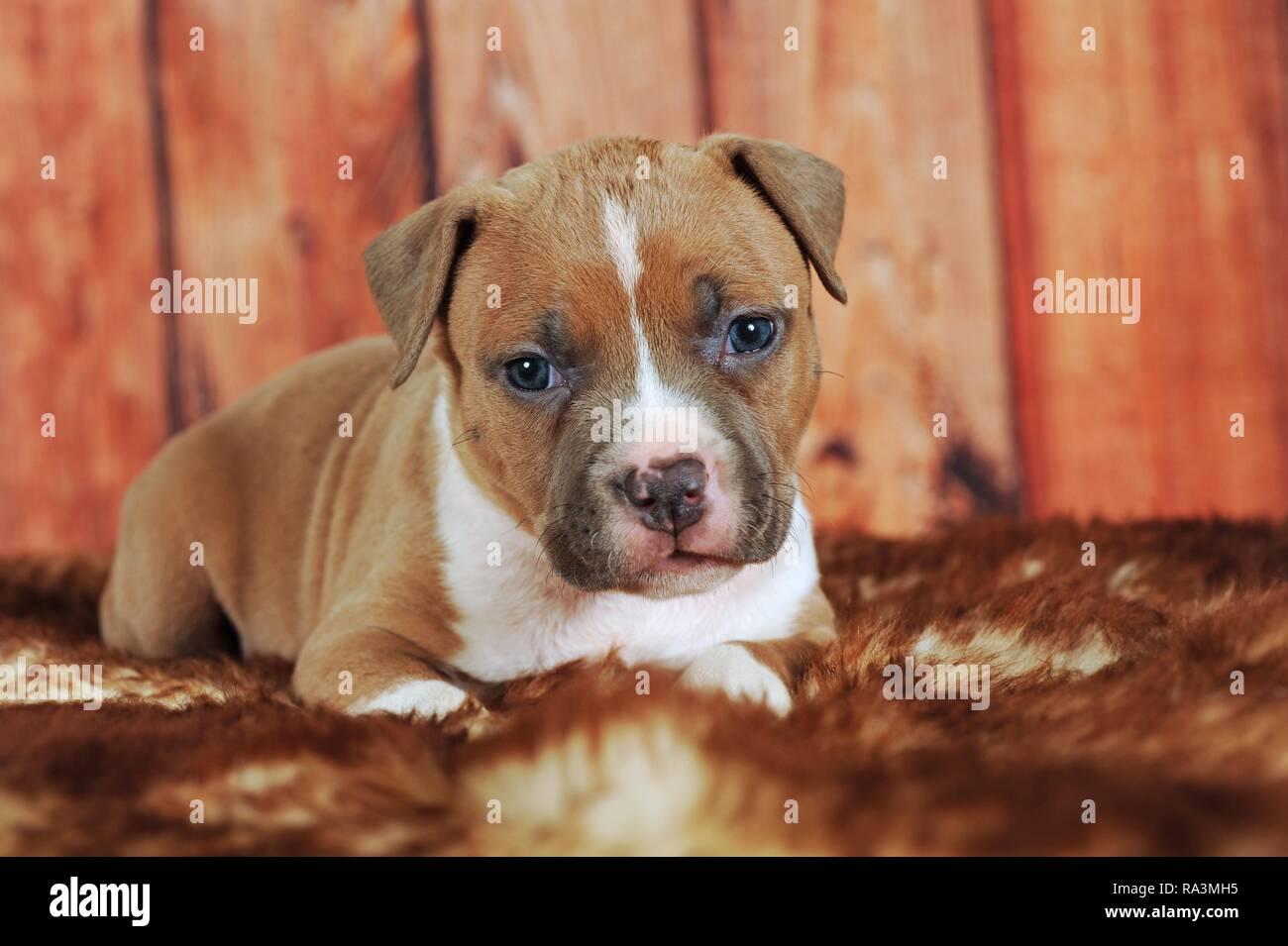 American Staffordshire Terrier Welpen 4 Wochen Rot Weiss Liegt Auf Pelz Decke Osterreich Stockfotografie Alamy