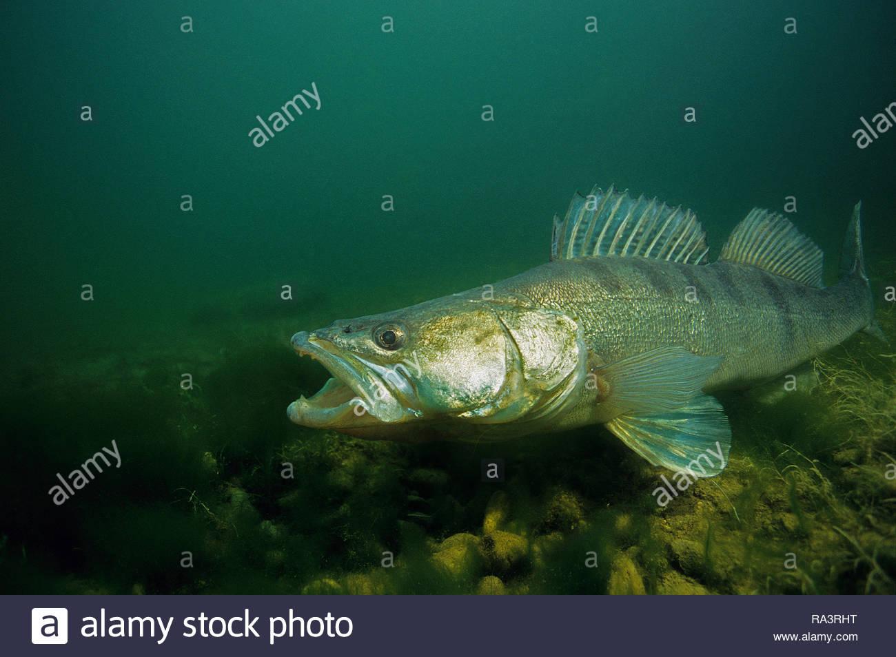Zander oder Zander (Sander lucioperca), verteidigt seine spawn, Bedrohung mit offenen Mund, Baden-Württemberg, Deutschland Stockbild