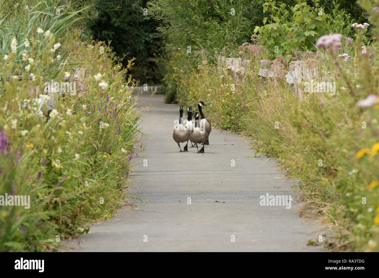 Vier Kanada Gänse, Branta canadensis, hinunter eine asphaltierte Weg zwischen hoher Vegetation, Arundel, West Sussex, Juli Stockbild