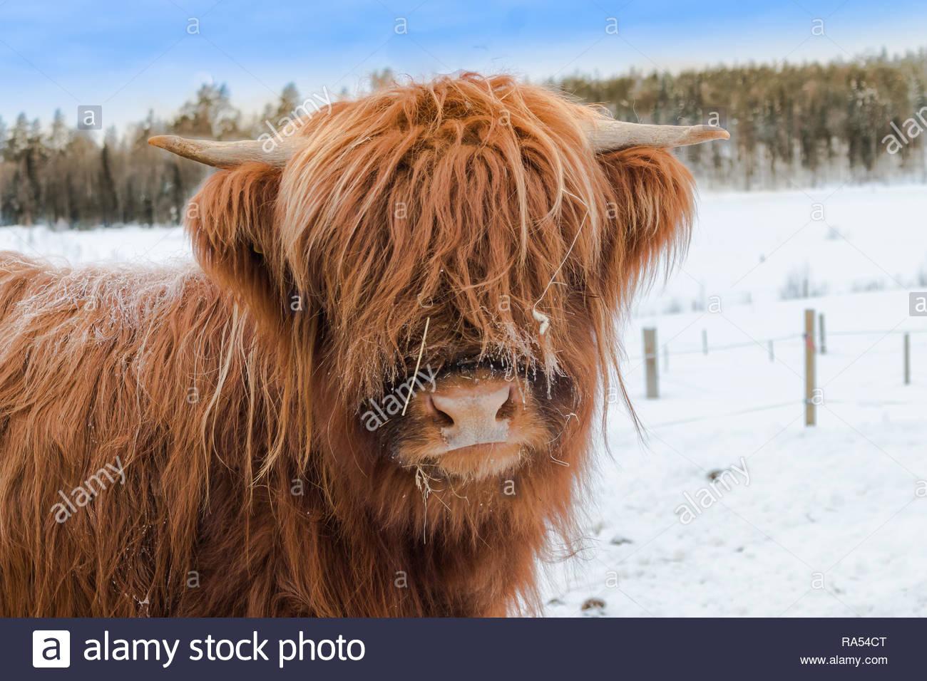 Highlandcattle Porträt im Winterland scape Stockbild