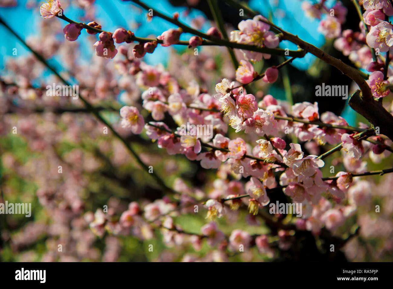 Ume Blume in Kyoto, Japan. Japan ist ein Land im Osten Asiens. Stockbild