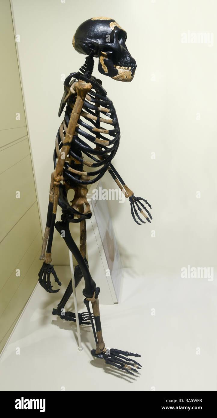 Australopithecus Skelett, Lucy, Australopithecus afarensis Stockbild