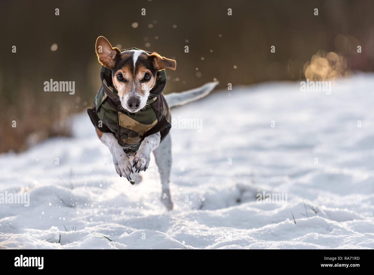 jack russel mantel im winter