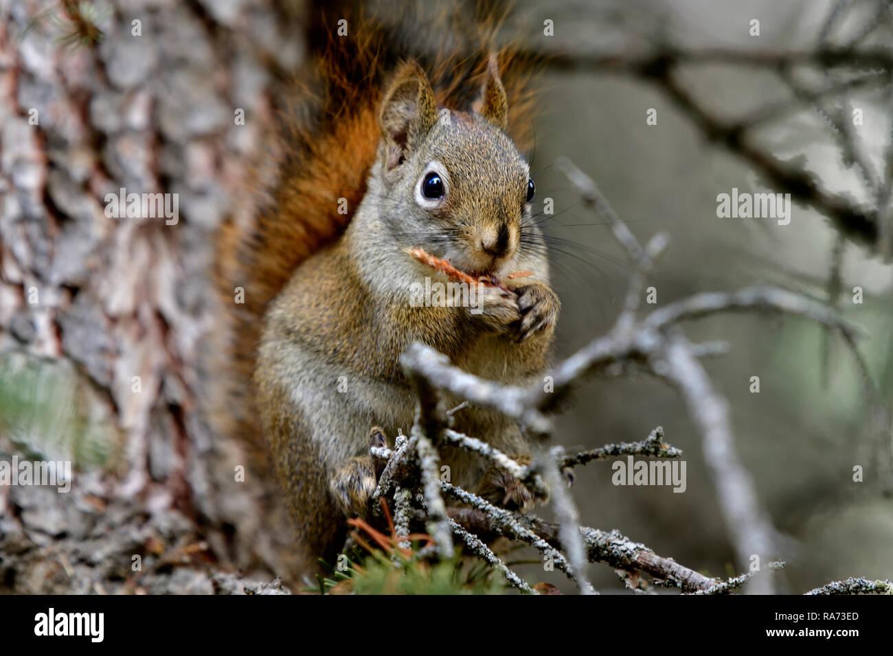 """Ein rotes Eichhörnchen """"Tamiasciurus hudsonicus"""" saß auf einem Ast essen eine Fichte Kegel in seiner tiefen Lebensraum Wald in ländlichen Alberta Kanada Stockbild"""