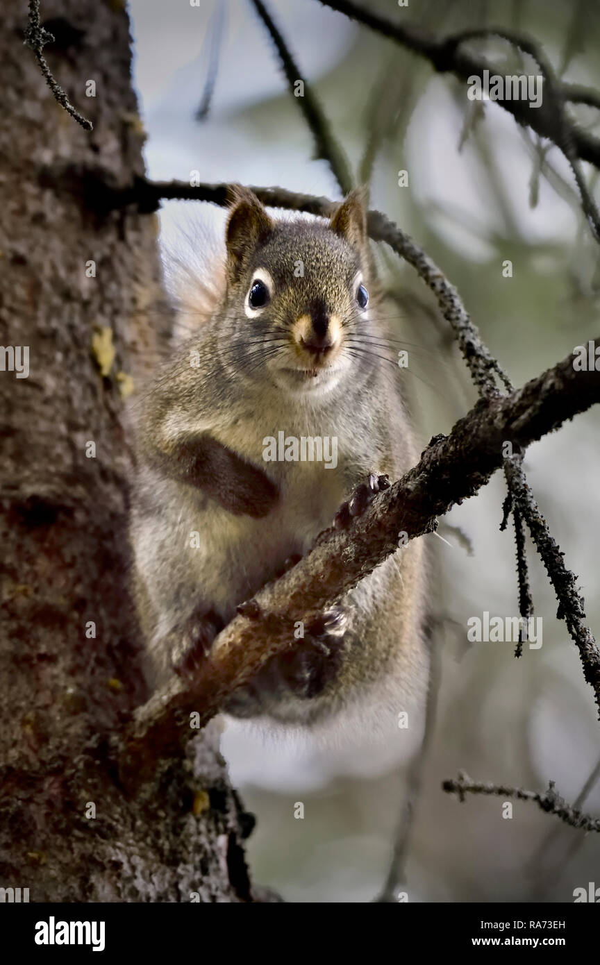 """Ein rotes Eichhörnchen """"Tamiasciurus hudsonicus"""" saß auf einem Ast in seinem tiefen Lebensraum Wald in ländlichen Alberta Kanada Stockbild"""