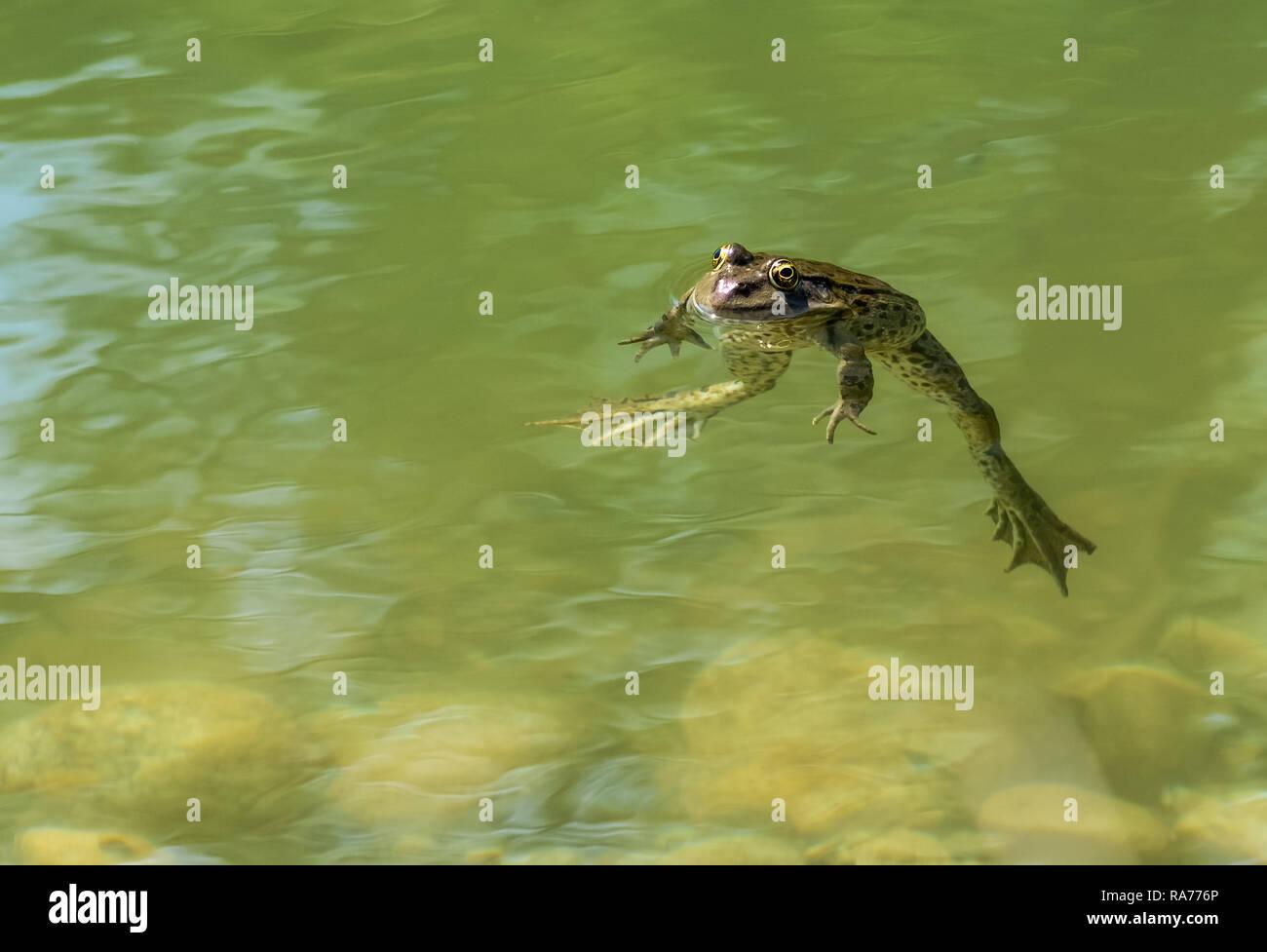 Grüner Frosch mit großen schwimmhäuten Stockbild