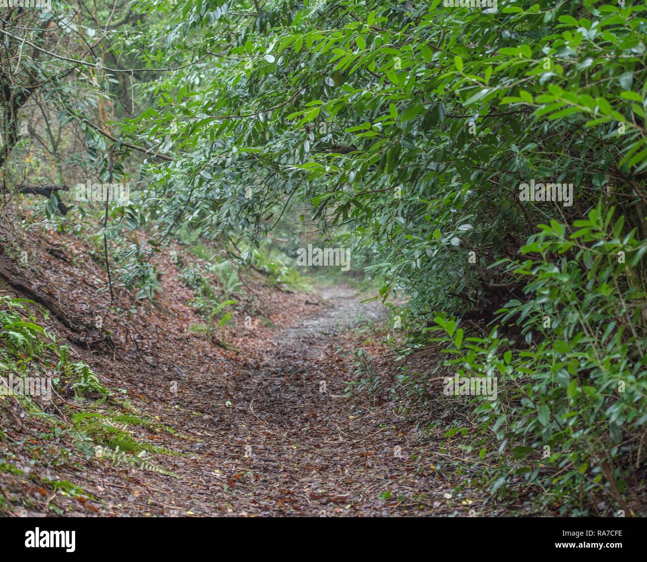 Woodland Weg durch Lorbeer Stockbild