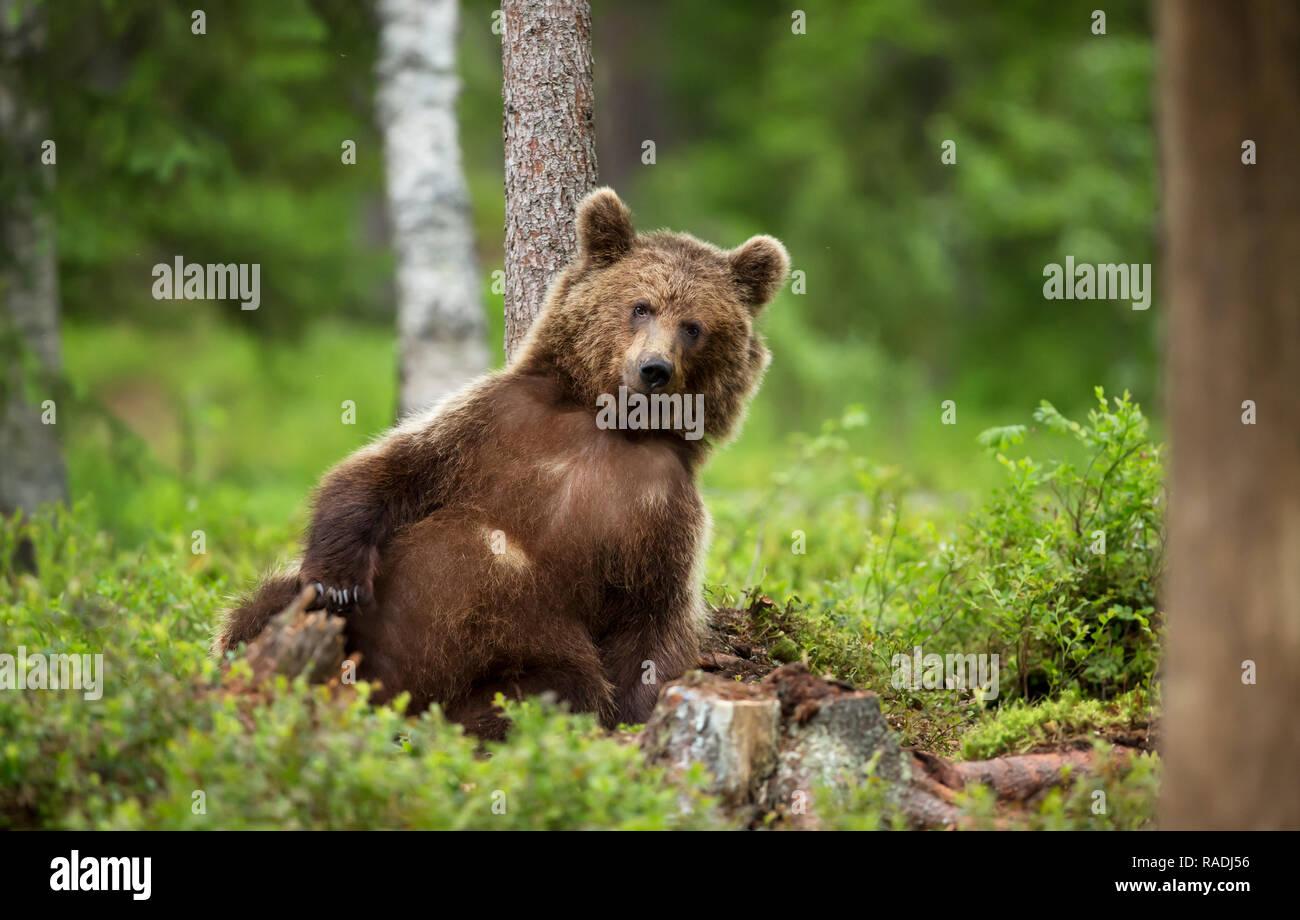 In der Nähe von Europäischen Braunbären (ursos arctos) lehnte sich gegen den Baum im borealen Wald, Finnland. Stockfoto