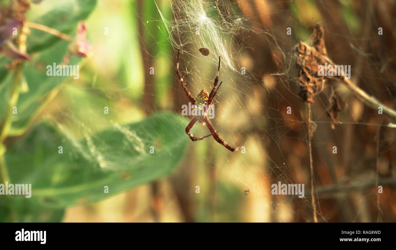 Tropische Spinne auf web Insekten jagen. spider Predator auf dem Web Stockbild