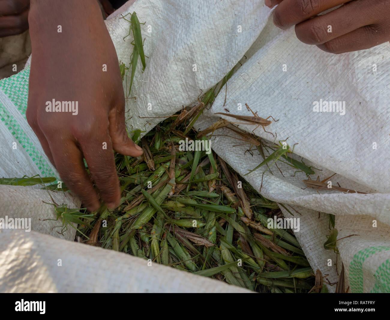Beutel der erfassten katydids (tettigoniidae) zum Verkauf als nsenene Snack Food, Uganda, Afrika Stockbild