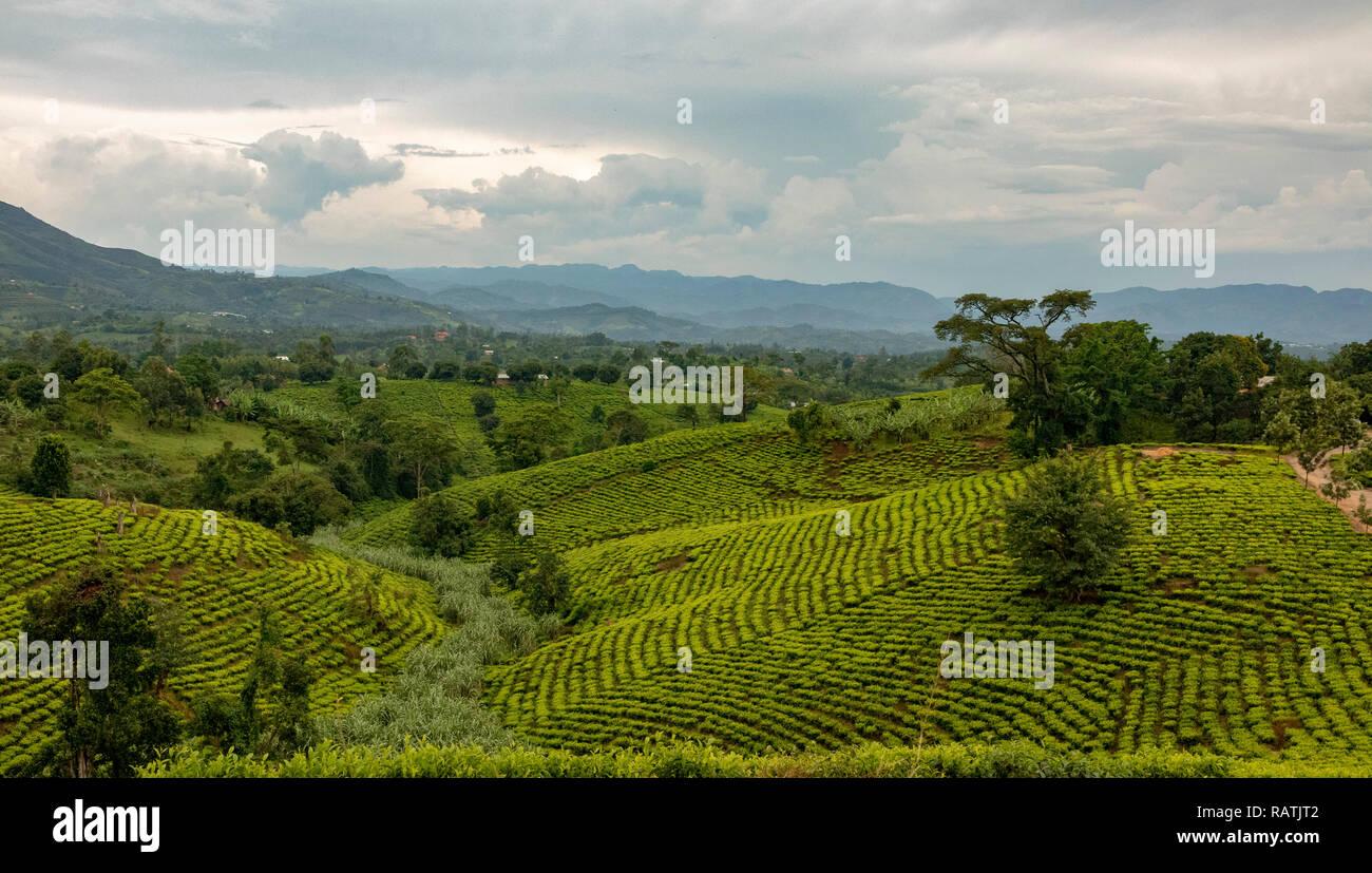 Teeplantagen in der Nähe des Bwindi, West Uganda, Afrika Stockfoto