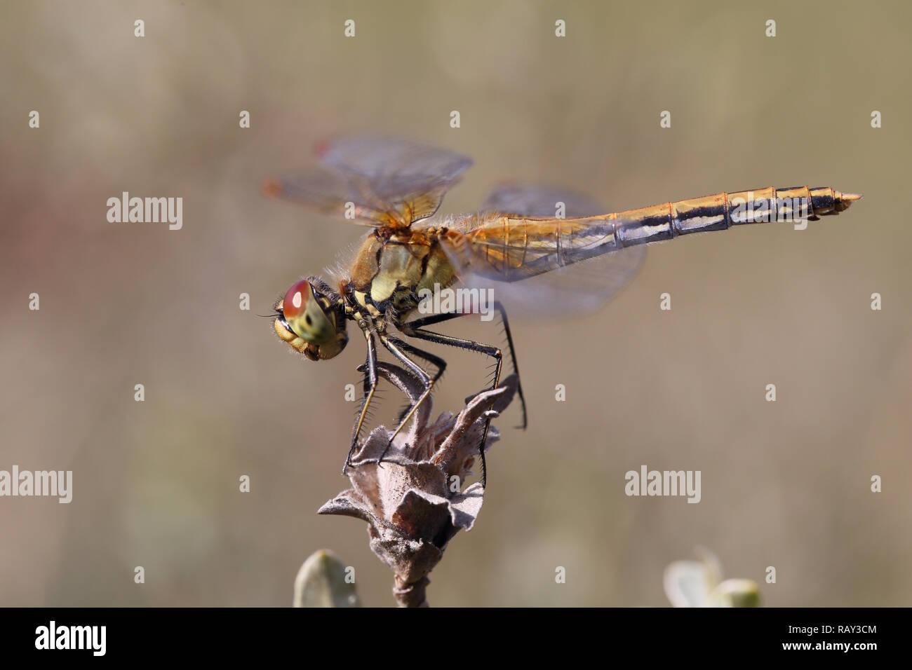 Gelb-winged Darter (Sympetrum Flaveolum) Stockbild