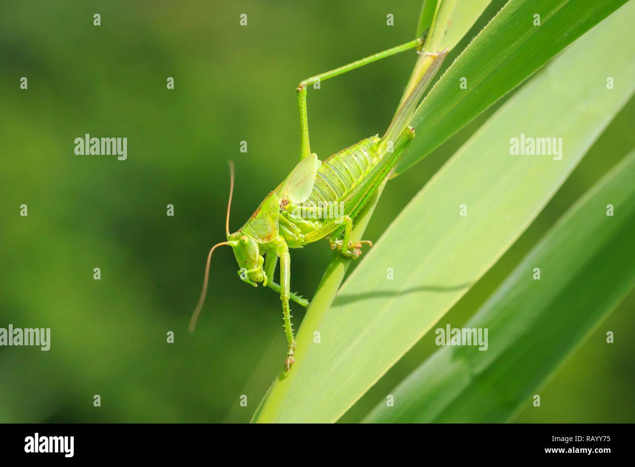 Makro Nahaufnahme eines weiblichen Großen Green Bush - Kricket, Tettigonia Viridissima mit ovipositor. Stockbild