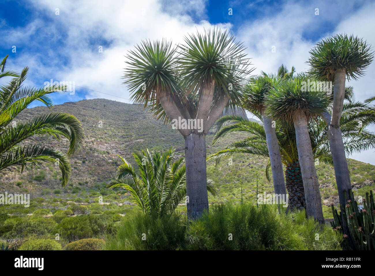 Drachenbaum in Santiage del Teide auf Teneriffa, Spanien Stockbild