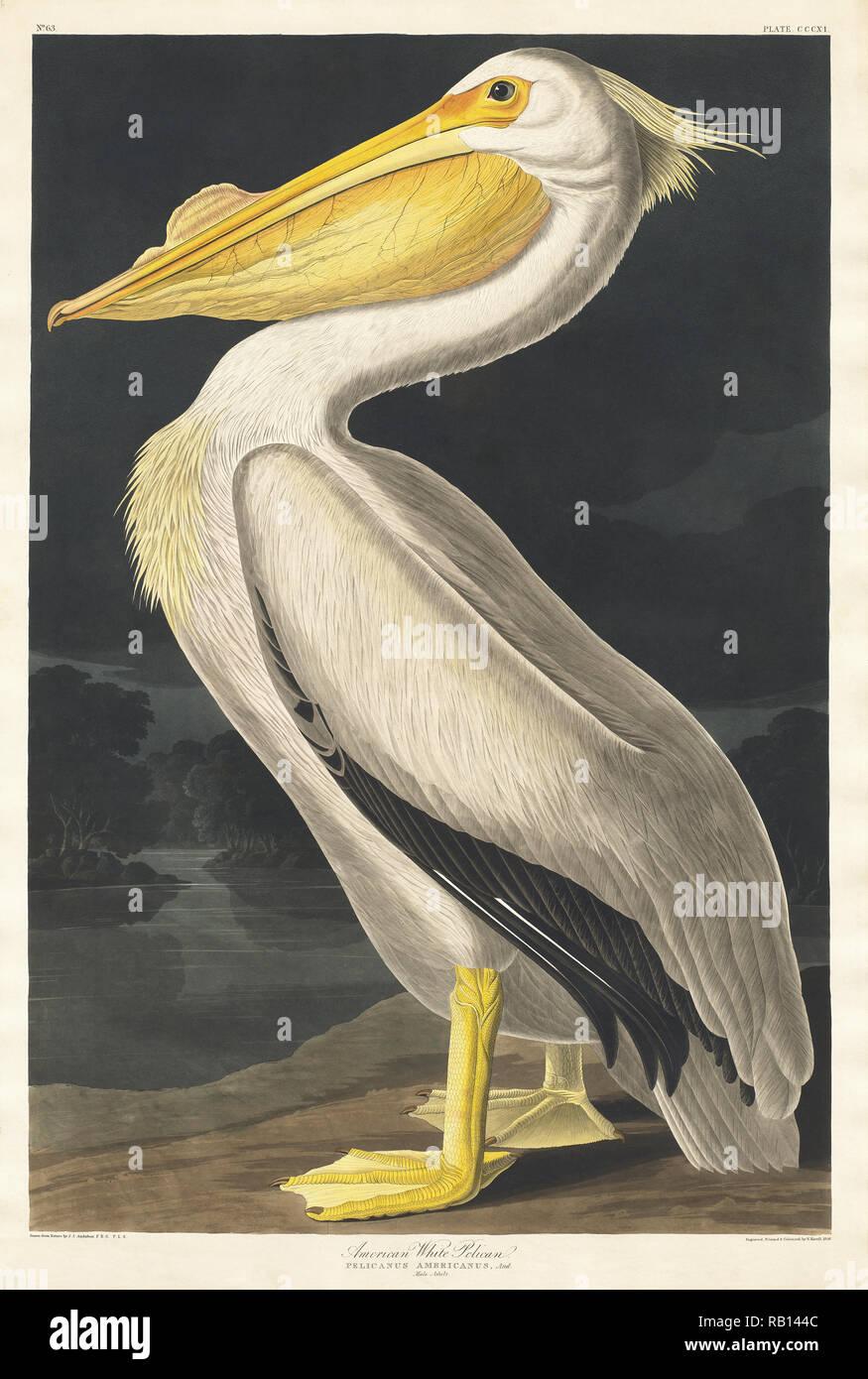 American White Pelican von Vögel von Amerika (1827) von John James Audubon (1785-1851), geätzt von Robert Havell (1793-1878). Die ursprüngliche Vögel von Amerika ist das teuerste Buch der Welt und ein wirklich beeindruckend - Klassiker. Stockbild